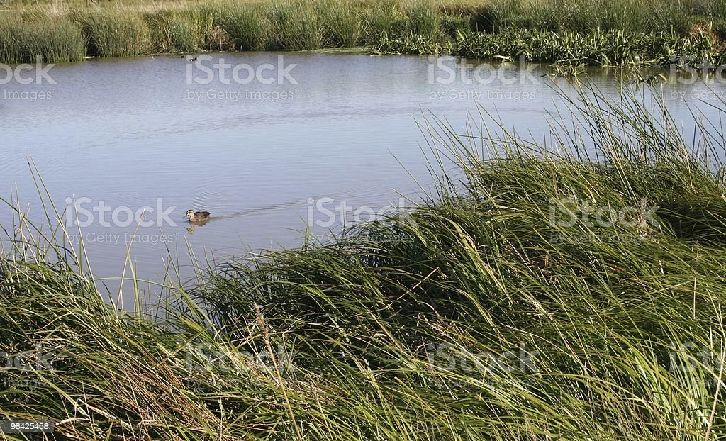 Duck near riverbank royalty-free stock photo