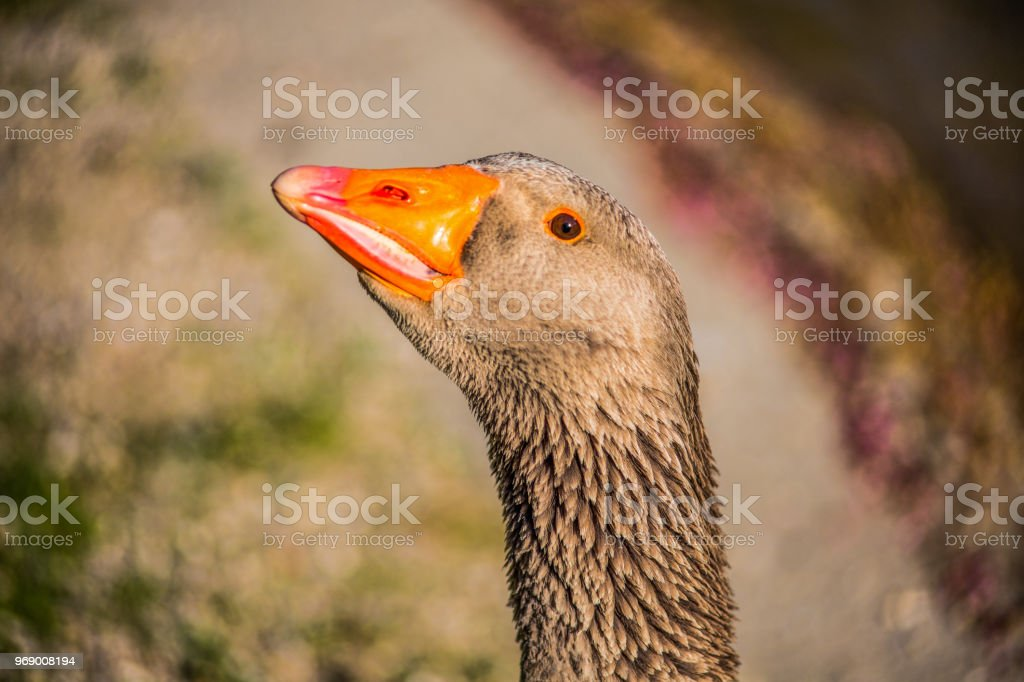 Duck neck close up stock photo