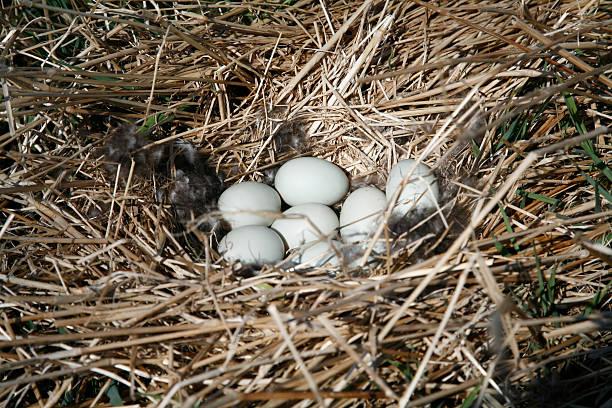 Duck nest stock photo