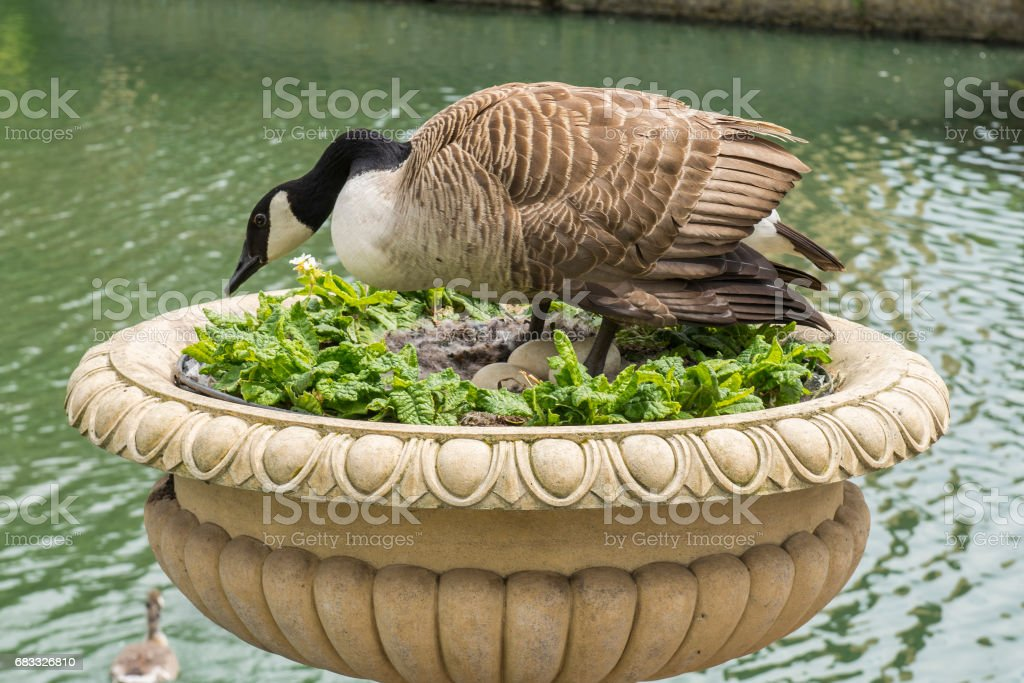 A duck nesting eggs in a park near London, England. royalty-free stock photo