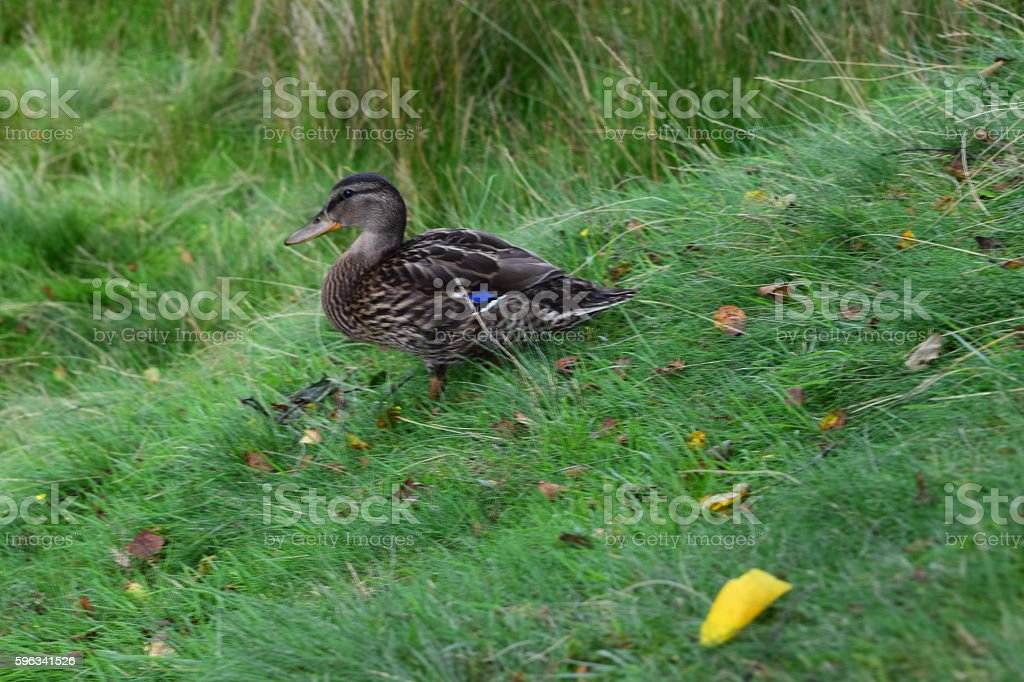 Duck on a hill royalty-free stock photo