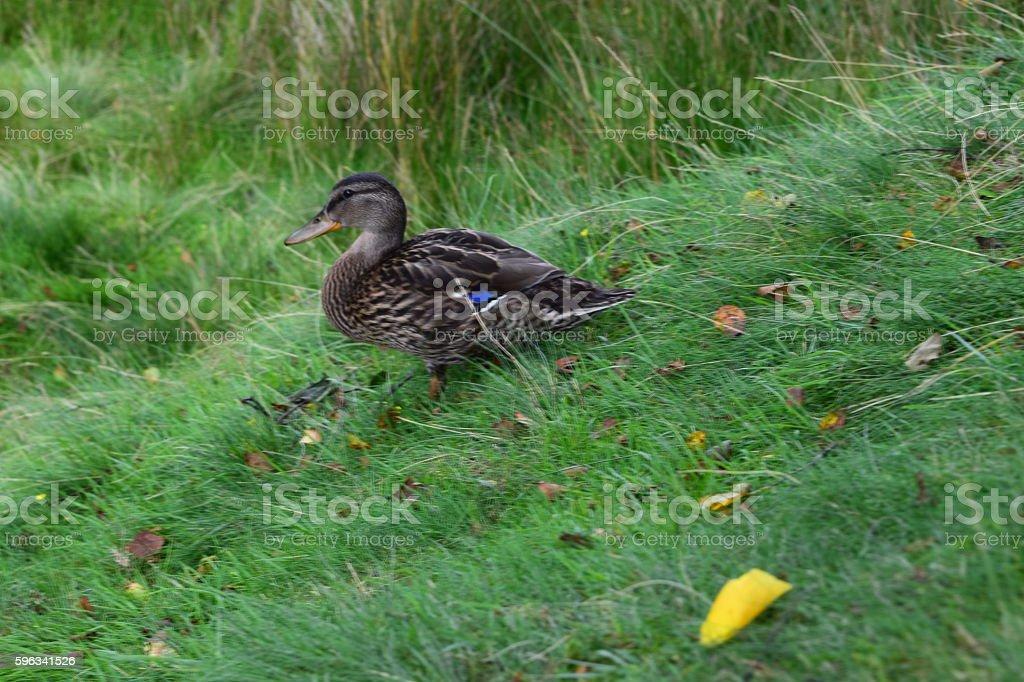 Duck on a hill Lizenzfreies stock-foto