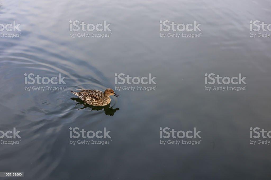 Um pato no lago - foto de acervo
