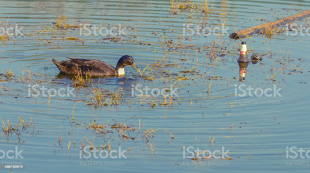 Duck on a polluted river from municipal waste stock photo