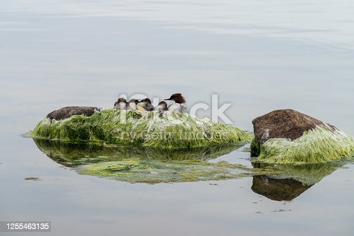 istock Duck on a rock in summer evening 1255463135