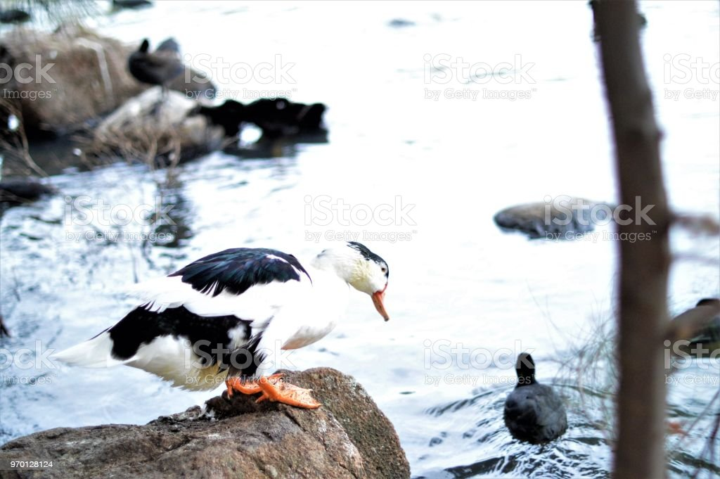 Duck on a rock stock photo