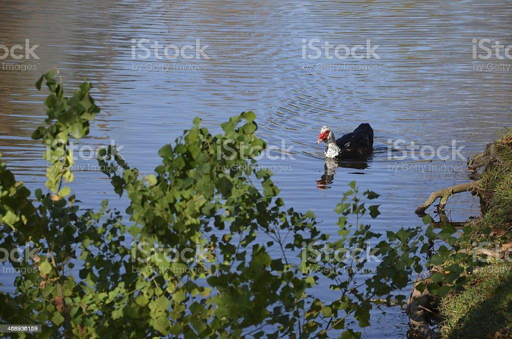 Duck On Lake stock photo