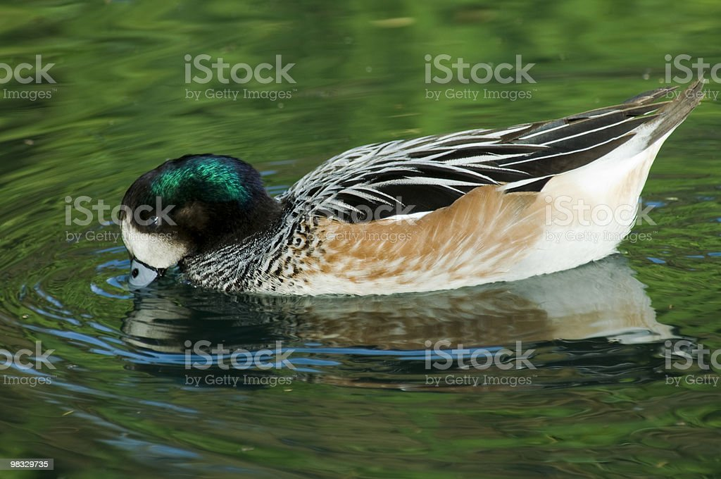 Duck on Pond royalty-free stock photo