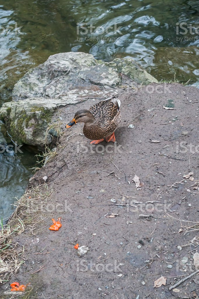 Duck On Shore royalty-free stock photo