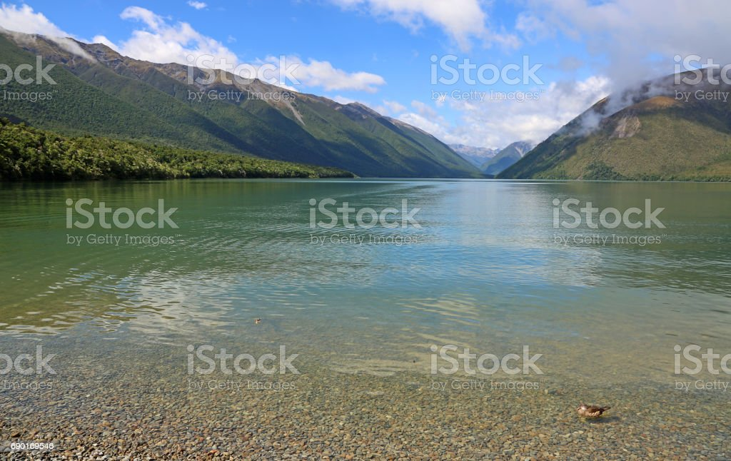 Duck on the beach of Rotoiti lake stock photo