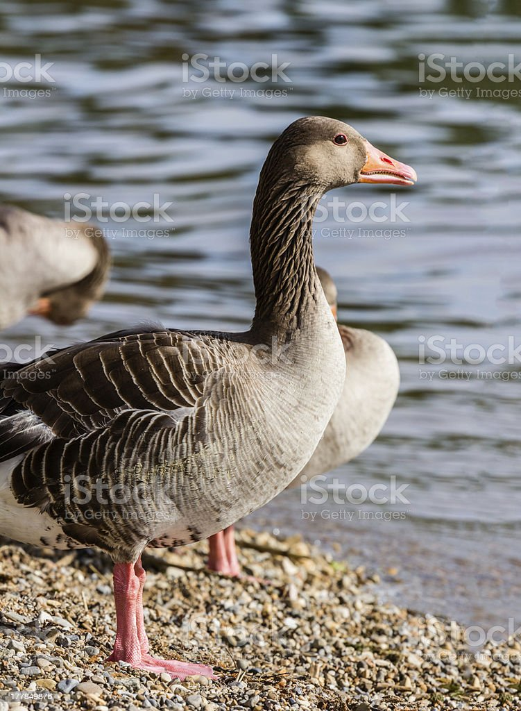 Duck on the Edge of a Lake royalty-free stock photo