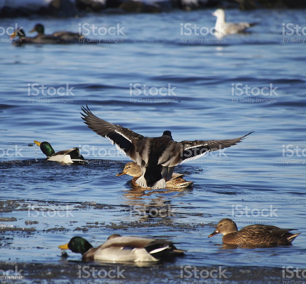 Duck on the lake in winter royalty-free stock photo