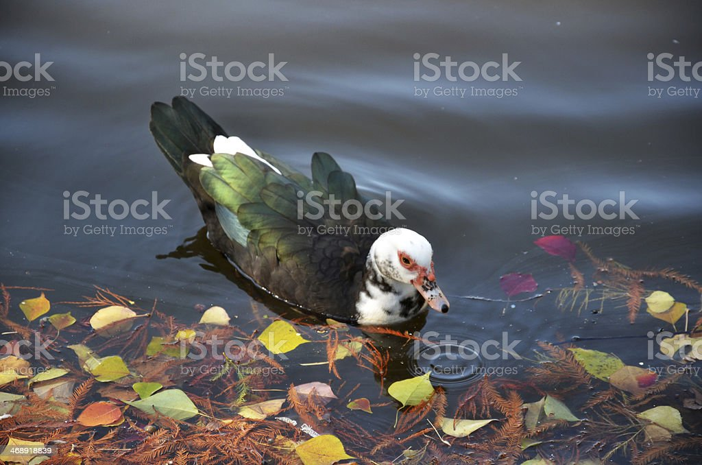 Duck On The Lake stock photo