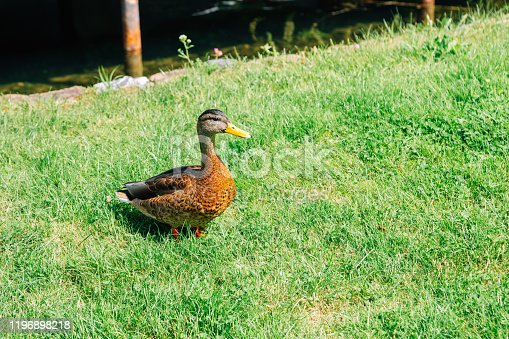 Duck on the lawn in Lithuania