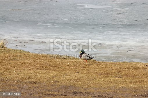 duck on the shore of a pond with melting ice