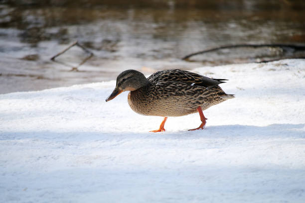 Duck on the snowy shore of the lake in the spring - foto stock