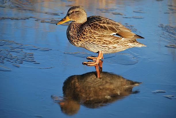 Ente auf dünnes Eis – Foto