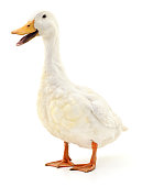 White domestic duck isolated on white background.