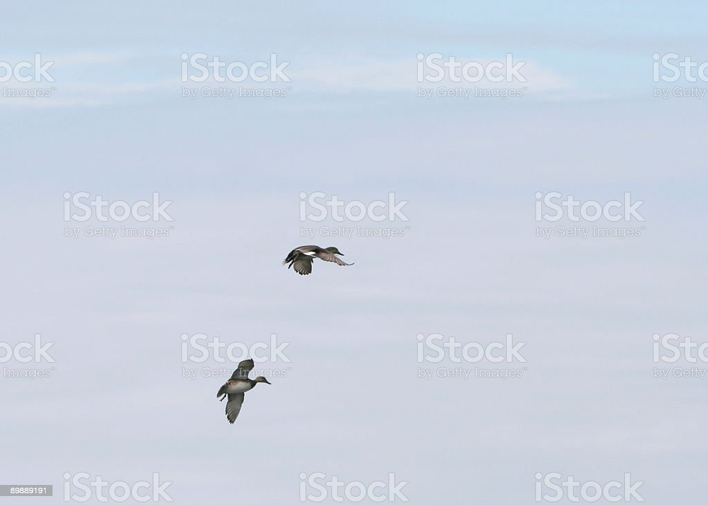 Duck Pair royalty free stockfoto