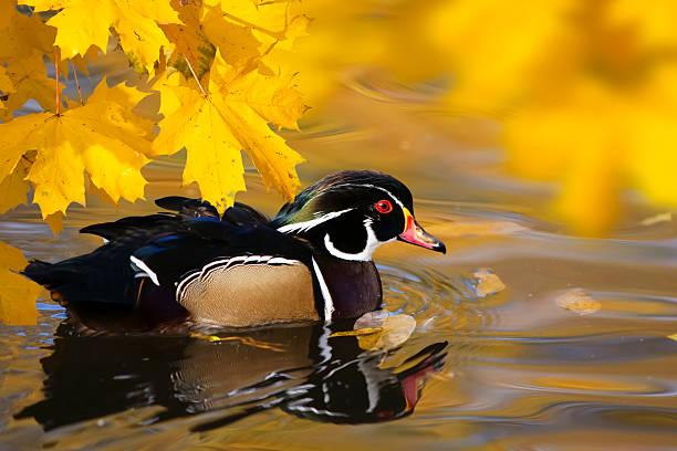 Duck – Foto