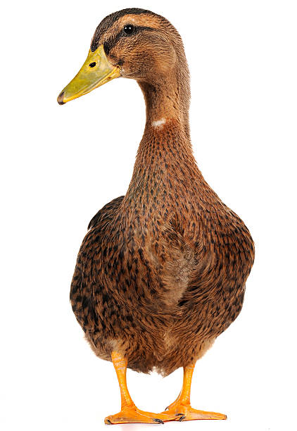 duck  duck bird stock pictures, royalty-free photos & images