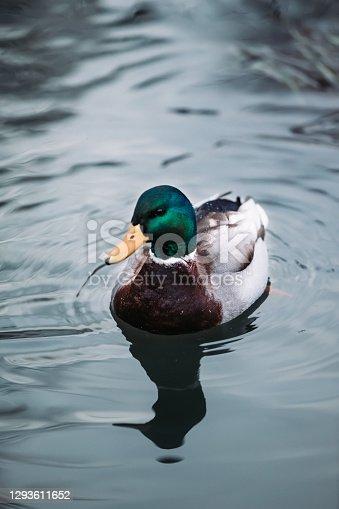 istock Duck 1293611652