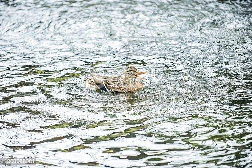 istock Duck 1303088081