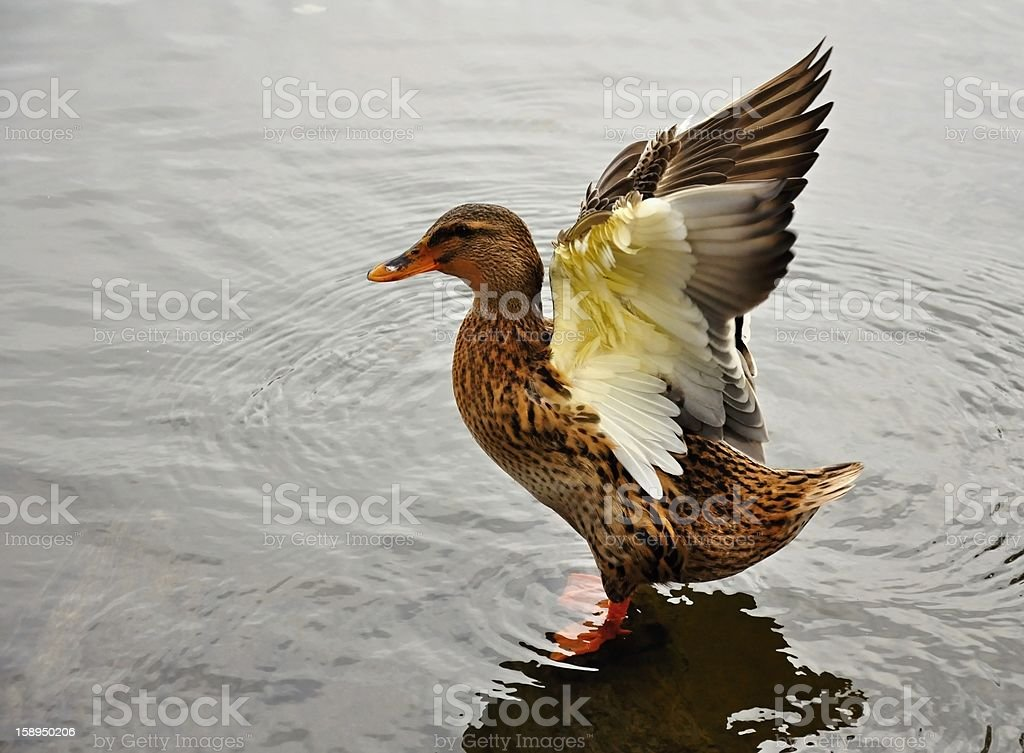 Duck royalty-free stock photo