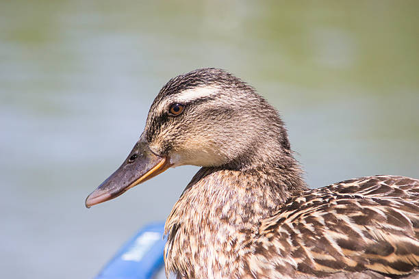 Duck A duck looking for food alas stock pictures, royalty-free photos & images