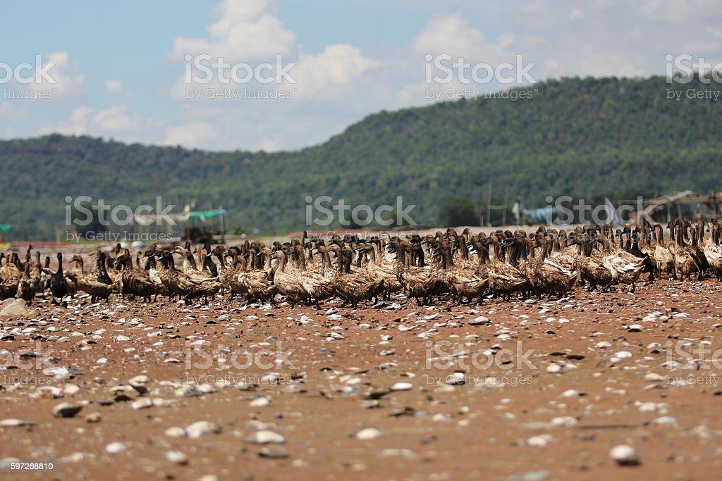 Duck  Lizenzfreies stock-foto