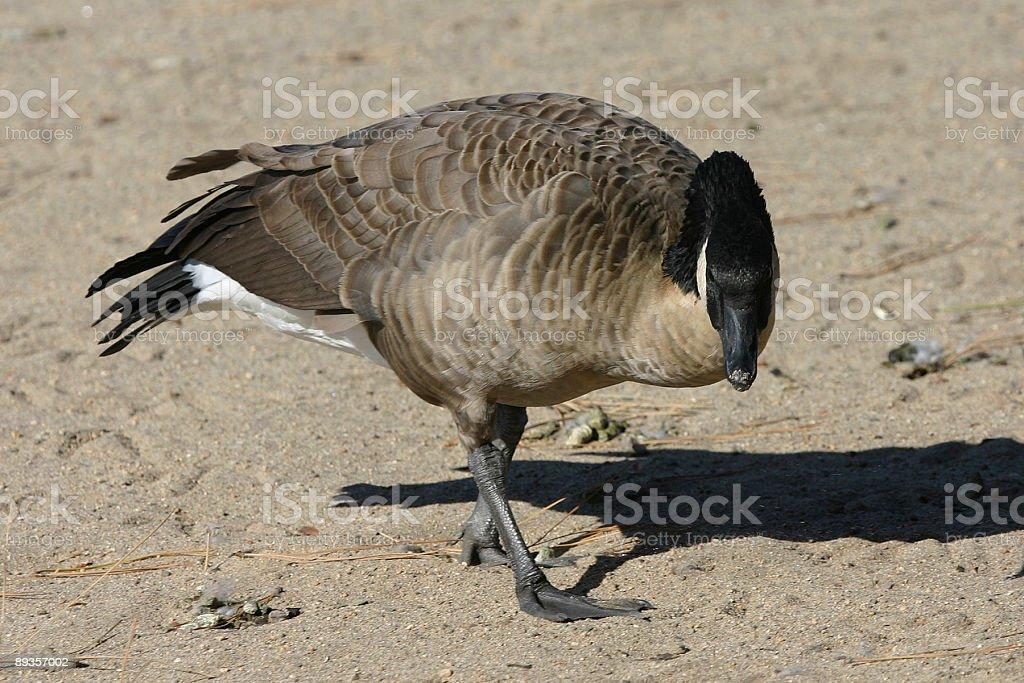 Duck royaltyfri bildbanksbilder