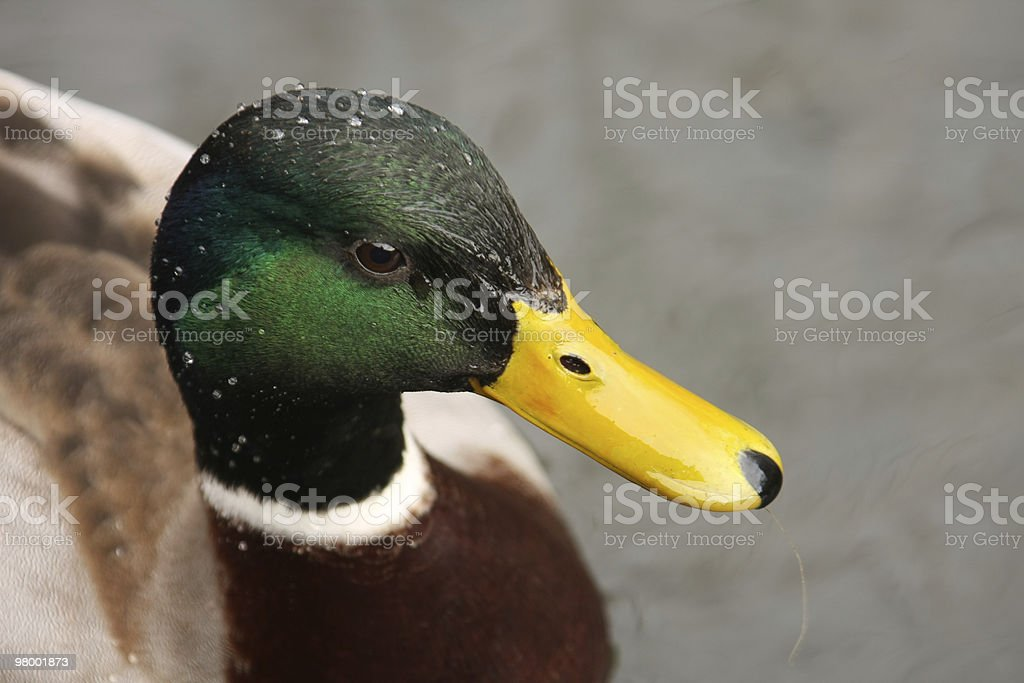 Duck royalty free stockfoto