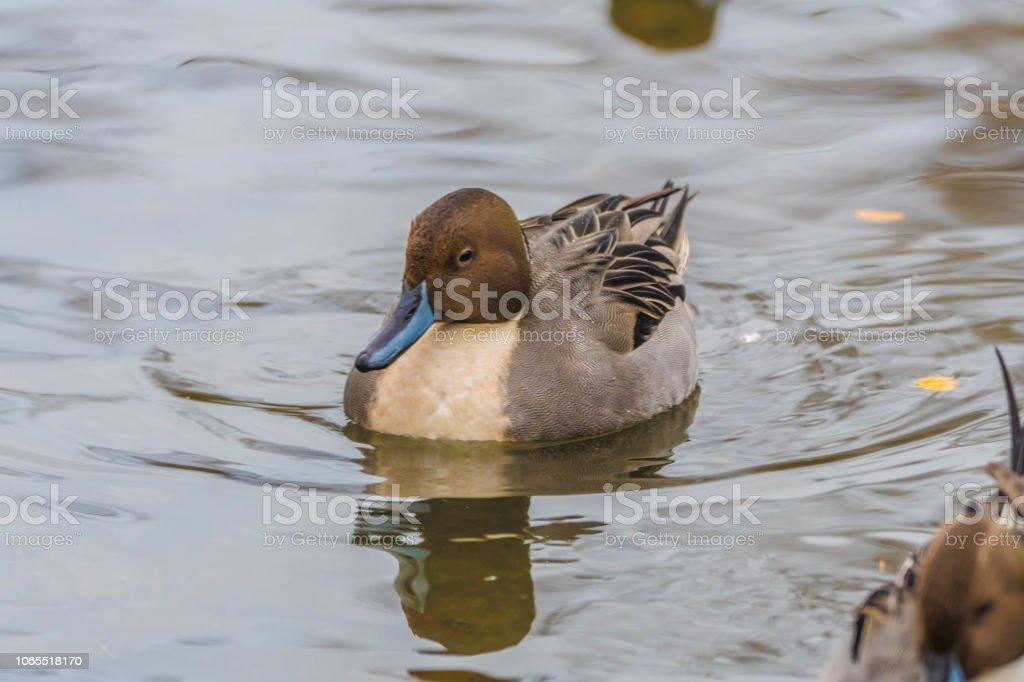 Duck Pond stock photo