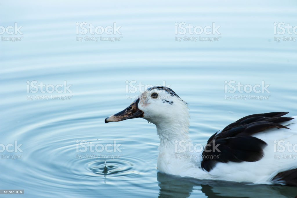 Duck portrait - Royalty-free Animal Stock Photo