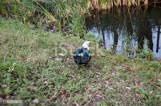 duck quacks while it swims