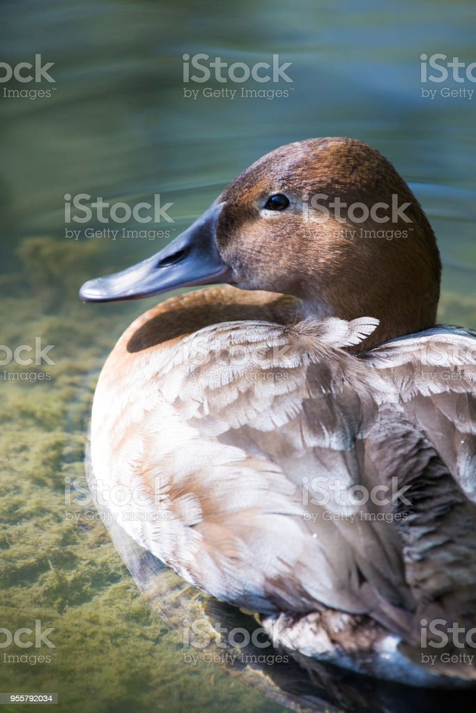 Duck resting on waters edge stock photo