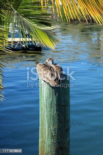 Duck Resting on Wood Pilings in Water at Key West, Florida