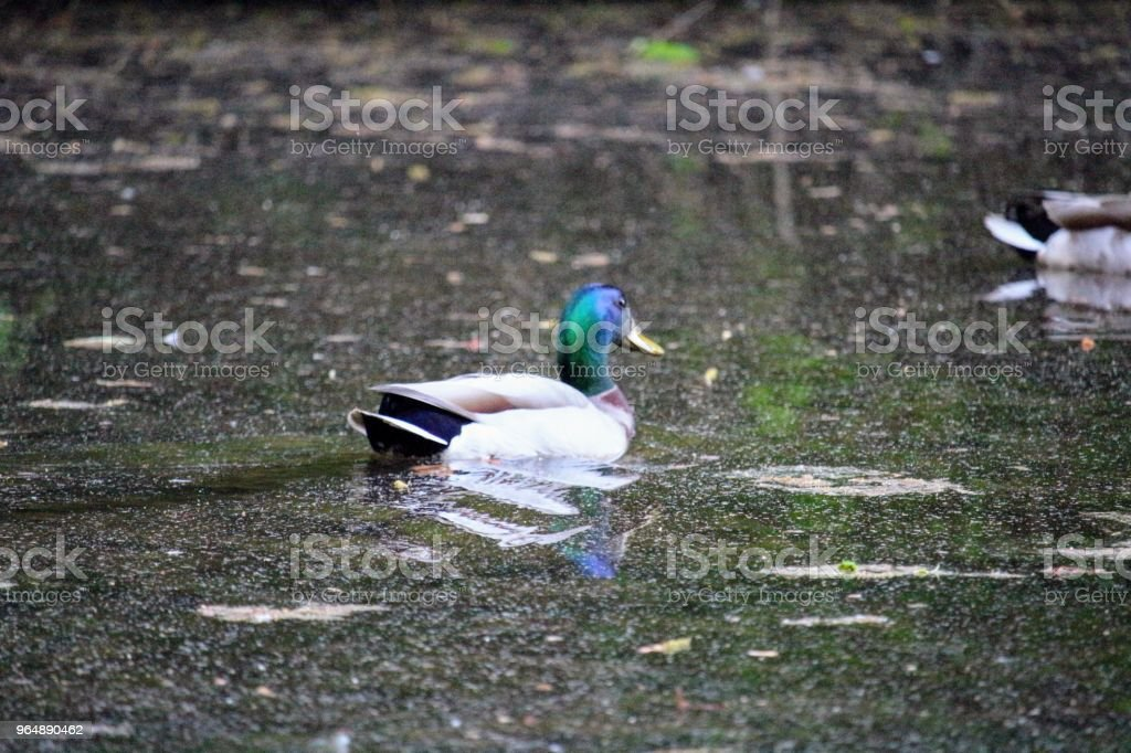 Duck seeking the interest of others royalty-free stock photo
