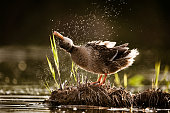 Female duck shaking its head from water in wilderness.