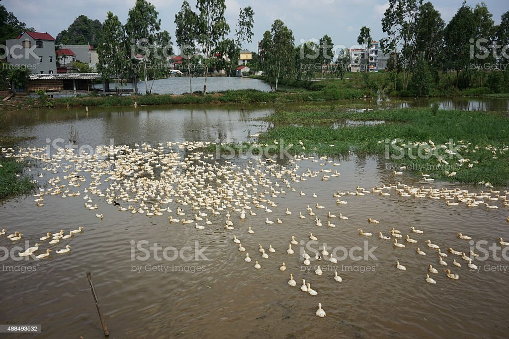 Duck shepherd's house stock photo