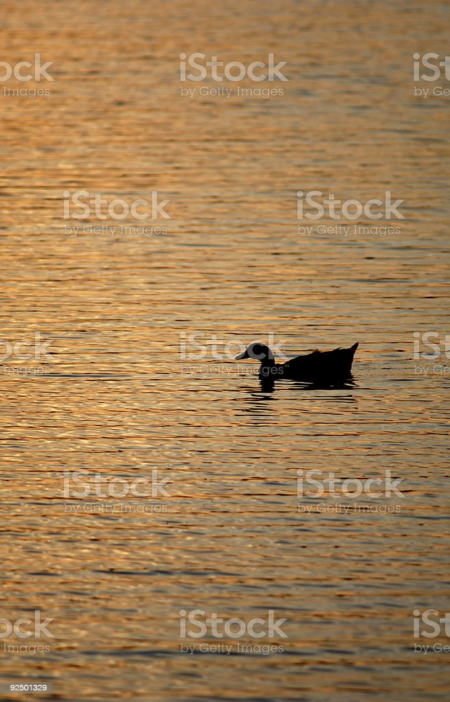 Duck silhouette royalty-free stock photo