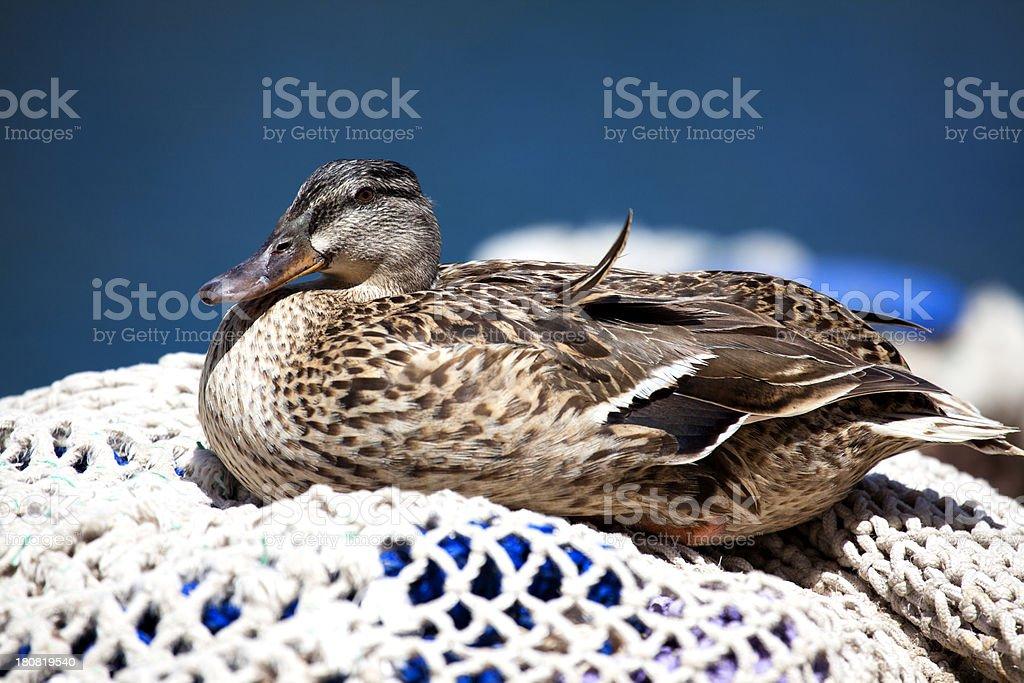 Duck sitting on fishing net, Majorca, Spain stock photo