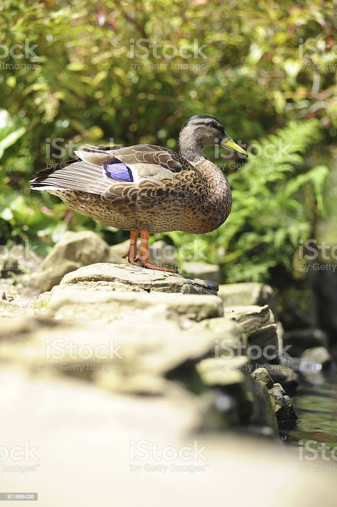 Duck Sitting On Wall royalty-free stock photo
