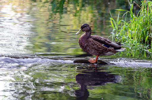 Duck standing in shallow river, reflection on the water surface.