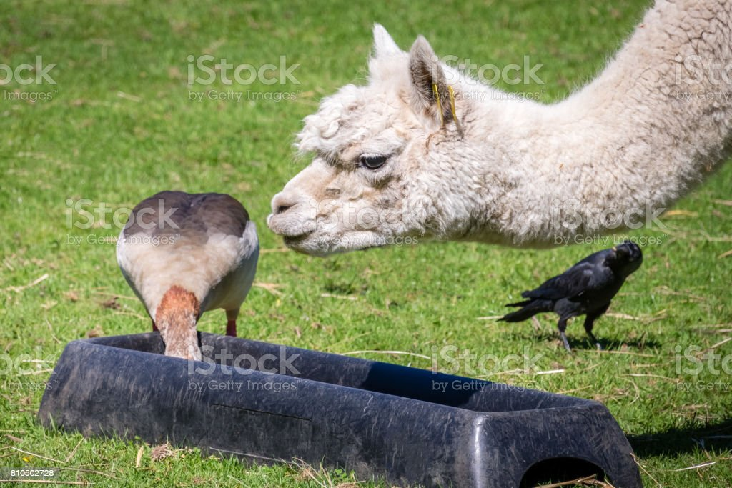 Duck stealing food from llama - foto stock