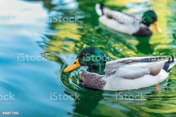 Photo of Duck sunbathing in the lake