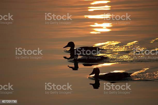 Duck swim on the lake picture id627201730?b=1&k=6&m=627201730&s=612x612&h=udwopvrh4v8hsrler2wiec3v3nayyvcm98pr5jdajga=