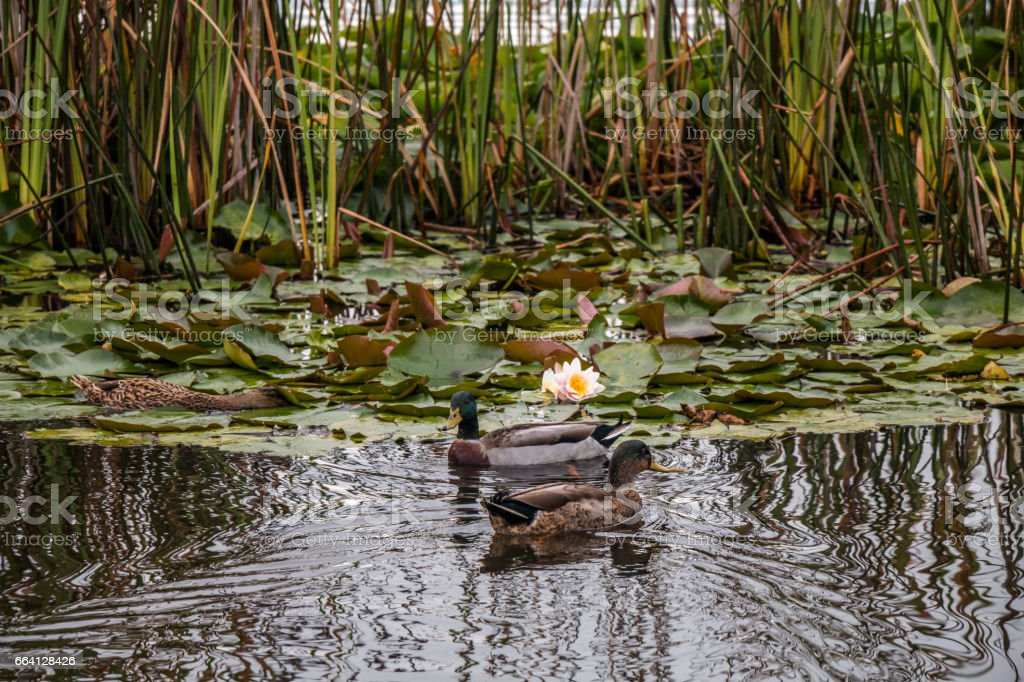 Duck swimming amongst the water lilies foto stock royalty-free