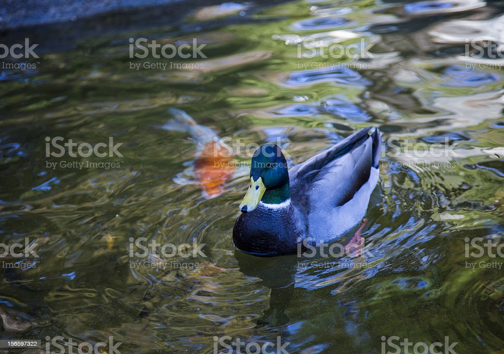Duck swimming in a pond royalty-free stock photo