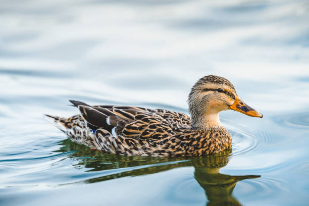 duck swimming in lake in the park duck swimming in lake in the park drake male duck stock pictures, royalty-free photos & images